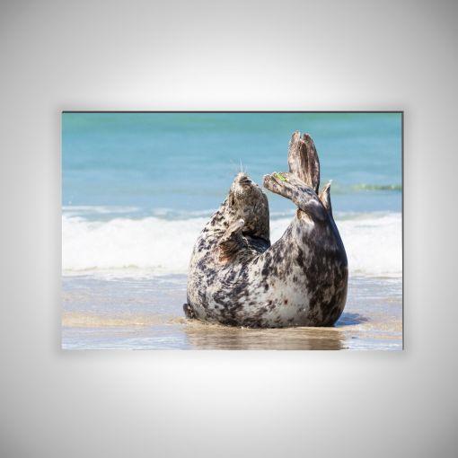 Robbe am Strand Querformat | 3mm Alu-Dibond-Platte Galerie Print